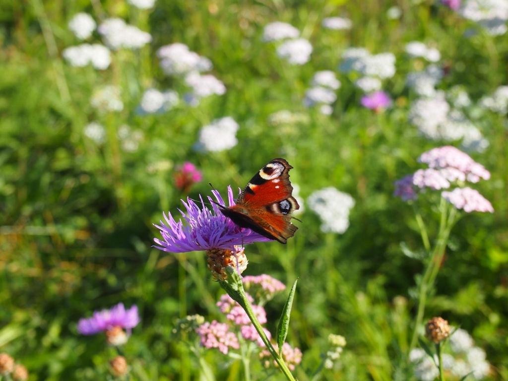 Zakládání květnaté louky: Přilákejte včely imotýly na svou zahradu