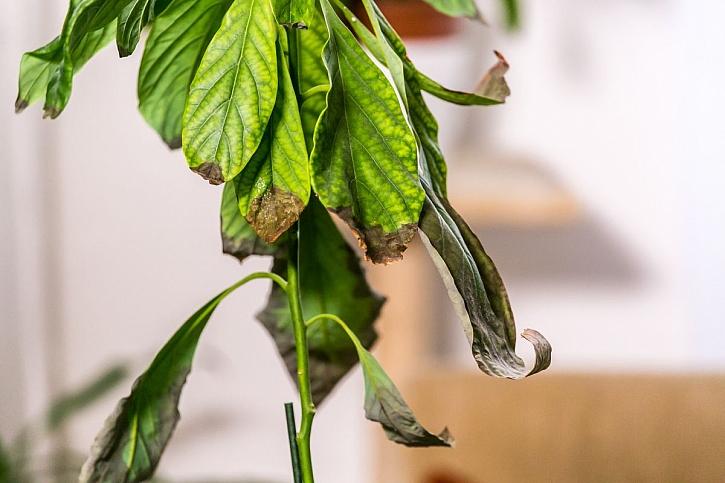 hnědé listy na avokádu
