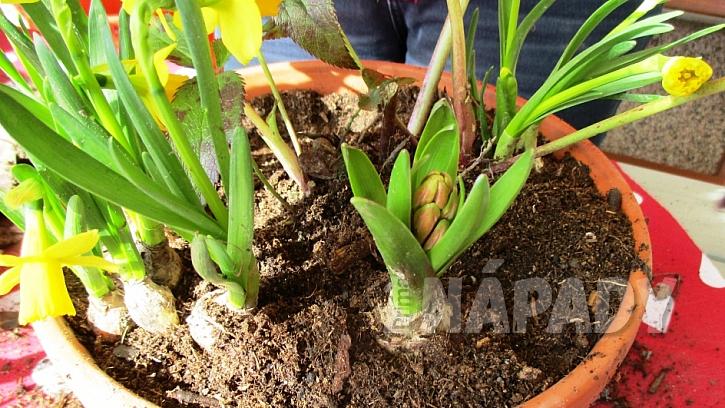 Jarní minizahrádka: přidejte cibuli hyacintu