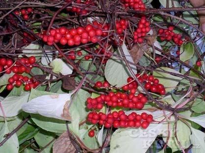 Klanopraška čínská (<em>Schizandra Chinensis</em>)