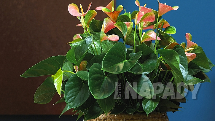 6 nečekaných důvodů, proč mít doma kytky: anturie (Anthurium)