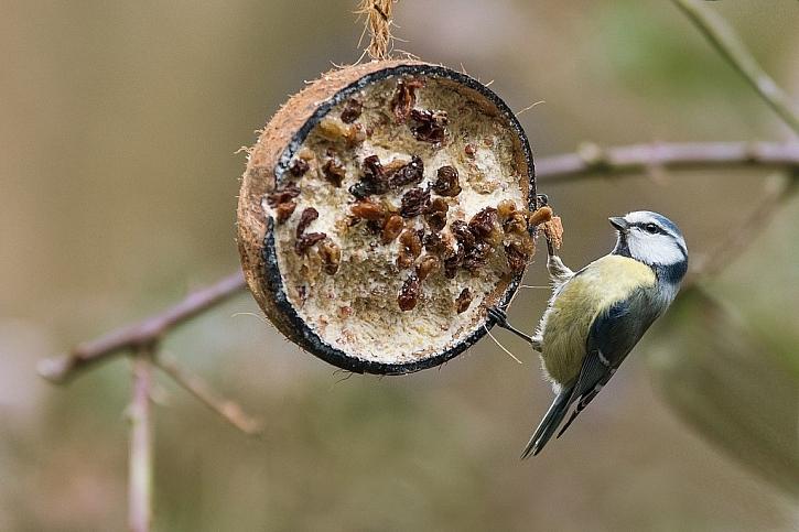 Vhodným příkrmem jsou také lojové koule. Můžete je vyrobit i doma například ze staré kokosové skořápky, do které vlijete kvalitní rozpuštěný tuk s příměsí semínek a oříšků. (foto: pixabay.com)