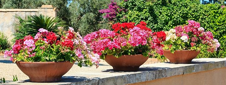pelargonie v květináčích