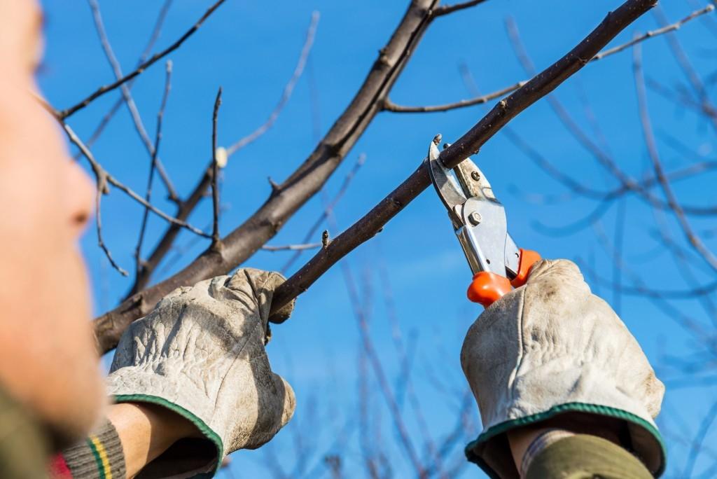 Kdy a jak na zimní prostřih ovocných stromů a keřů?