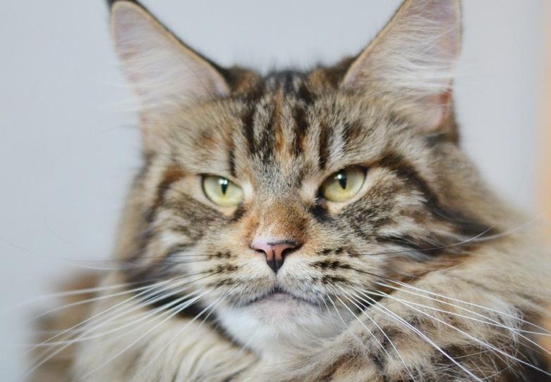 Přítulná kráska s obrovským srdcem i tělem: Mainská mývalí kočka