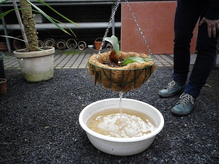 9. Vysazenou rostlinu namočíme asi na 20 minut do dešťové vody a necháme okapat