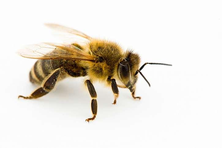 Pomoc včelařů zajišťuje Slavia pojišťovna (Zdroj: Depositphotos (https://cz.depositphotos.com)(