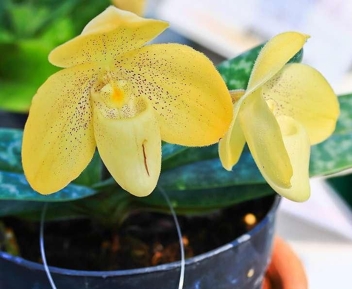 Vypěstujte si orchidej Lady Slipper, patří k těm nejkrásnějším (Zdroj: Depositphotos (https://cz.depositphotos.com))