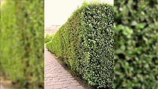 Jak udržovat přirozený živý plot