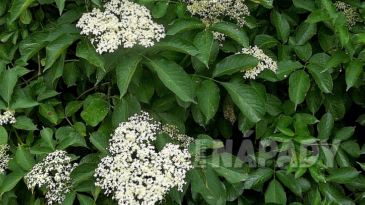 Jak udělat z čerstvých bezových květů sirup, ocet nebo čaj  1