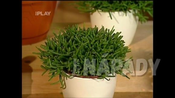 Jak pěstovat rhipsalis