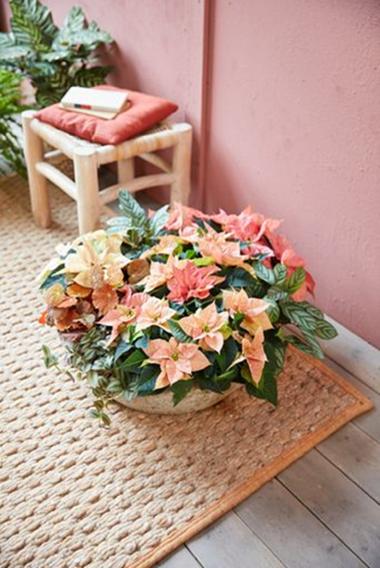 Velký květináč s mini poinsettiemi v odstínech meruňkové, růžové a lososové, mini vánočními hvězdicemi, plazivou voděnkou, begonií s rezavě zbarvenými listy a kalateou oživí váš interiér