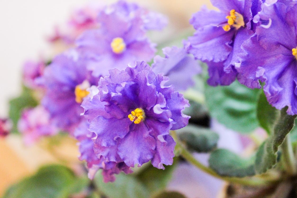 Africké fialky: Oblíbené pokojové květiny, které si snadno sami namnožíte