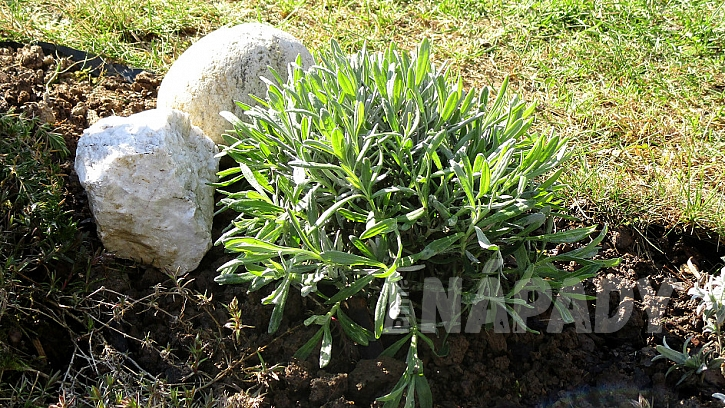 Jak zasadit na zahradě levanduli 7