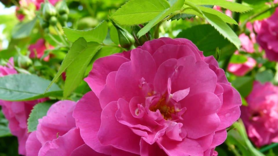 Vydejte se na Den otevřených dveří do zahrady: Soutěžní rozárium v Hradci Králové