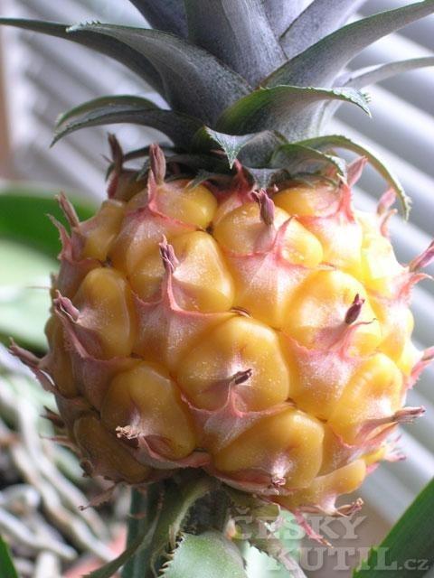 Ananas chocholatý