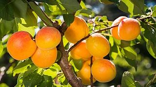 Meruňky, letní ovoce v barvě slunce: Jak sklízet plody a starat se o stromy