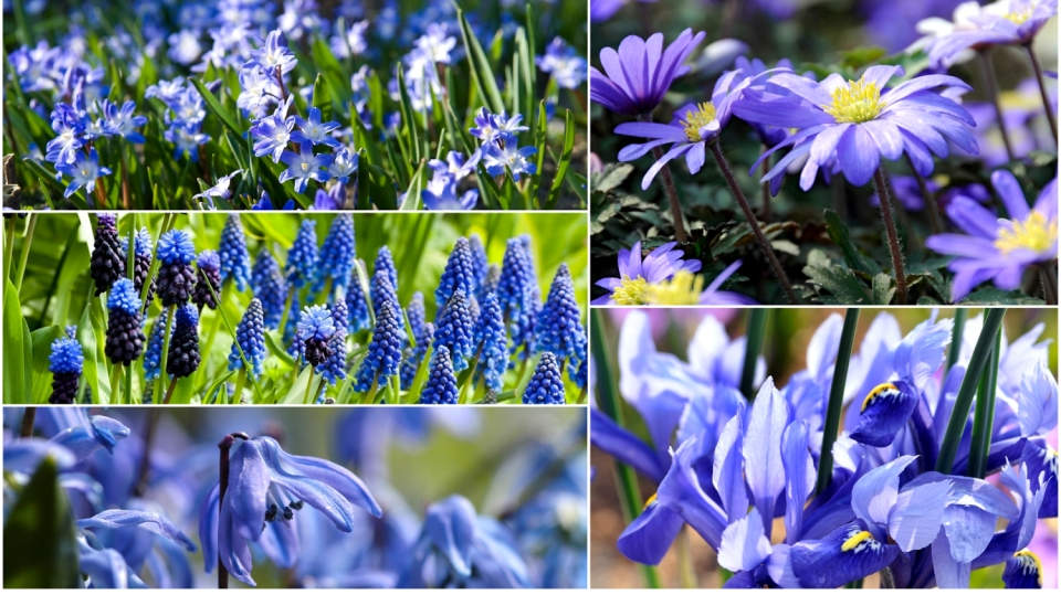 5 nejkrásnějších jarních cibulovin s modrými květy. Proč je modrá dobrá?