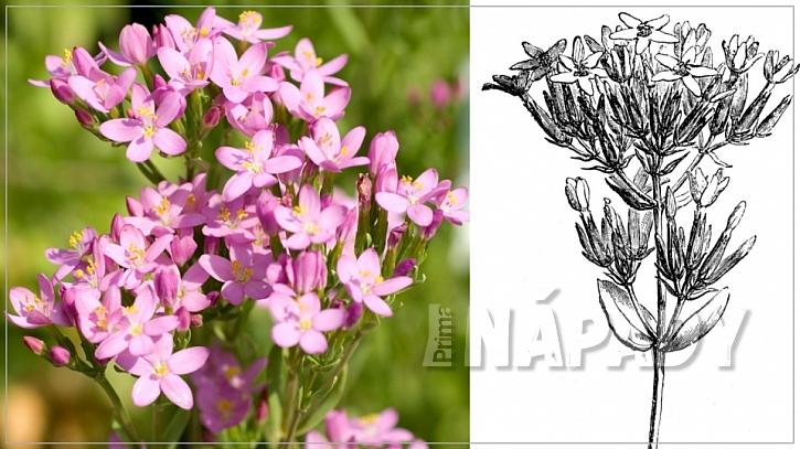 Zeměžluč okolíkatá (Centaurium erythraea) kvete do září květy starorůžové barvy, které tvoří okolíky