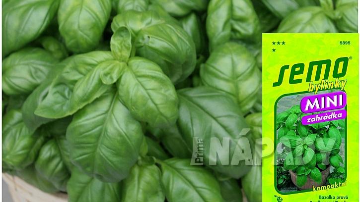 Mini bazalky pro truhlíky a květináče: odrůda MAMMOLO GENOVESE