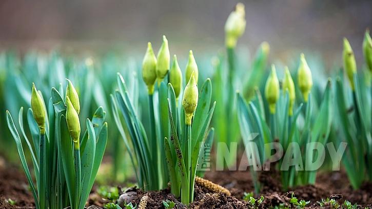 Co udělat v březnu na zahradě: narcisy potřebují před rozkvětem dobře pohnojit