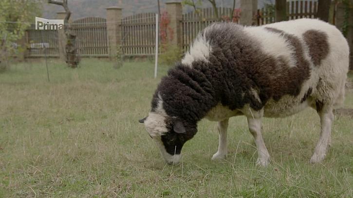 Jak postupovat při chovu ovcí? (Zdroj: Chov ovcí)