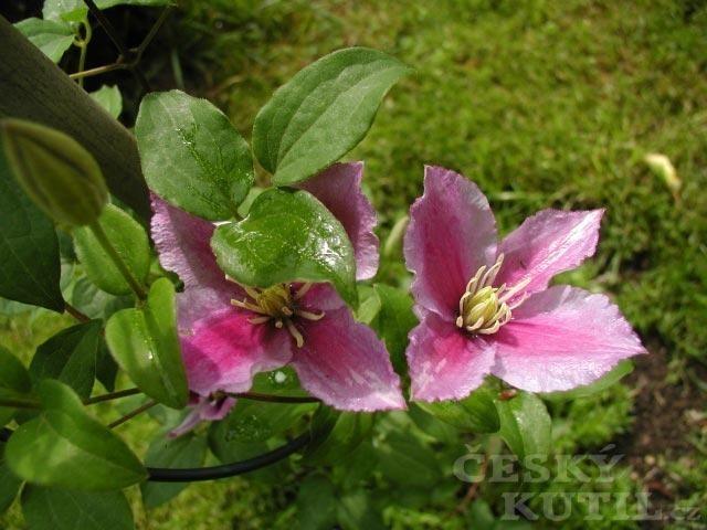 Plamének – velkokvěté hybridy