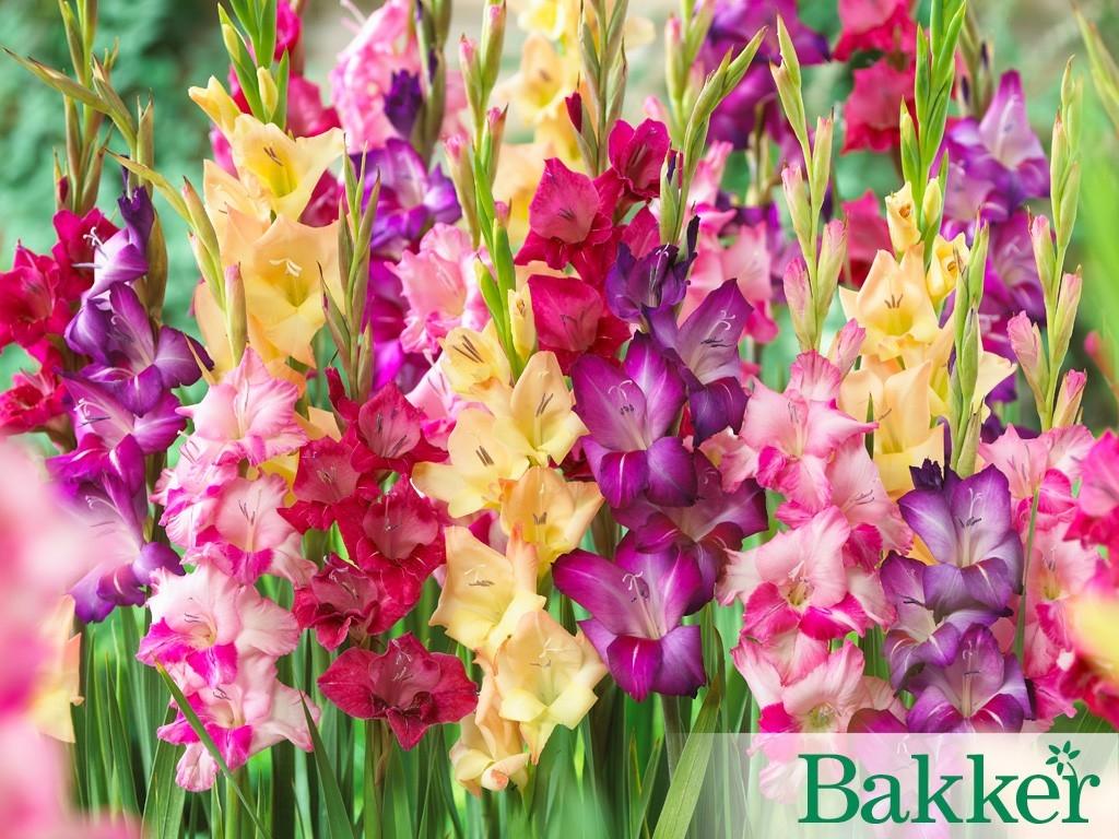 Mečíky - rozjasněte si zahradu pestrou paletou nádherných barev