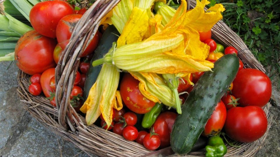 Jak správně sklízet rajčata, papriky, okurky a cukety