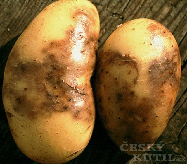Plíseň bramboru