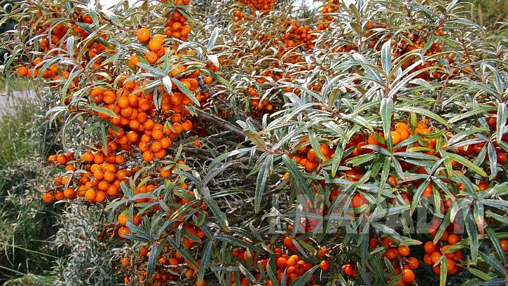 Plody rakytníku řešetlákového představují zázračnou medicínu (Zdroj: Depositphotos.com)