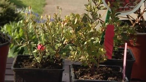 Výsadba kyselomilných rostlin