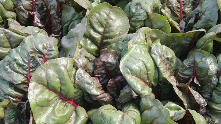 Mangold odrůda Rhubar Charb