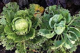 Co dělat, aby nám škůdci nesežrali zeleninu ještě před sklizní?