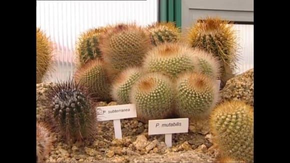 Zazimování kaktusů
