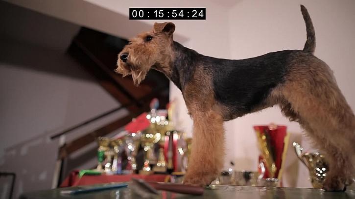 Psí plemeno Velšteriér