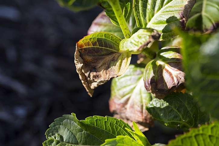 Slipper může potrápit rez, šedá plíseň a také listová skvrnitost