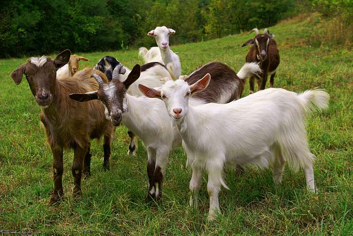 Přírodní elixír zdraví? Kozí a ovčí mléko! (Zdroj: Depositphotos)