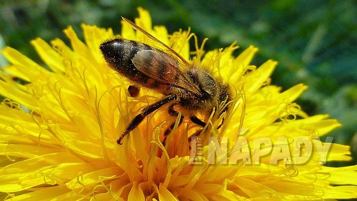 Pampelišky včelky velmi přitahují
