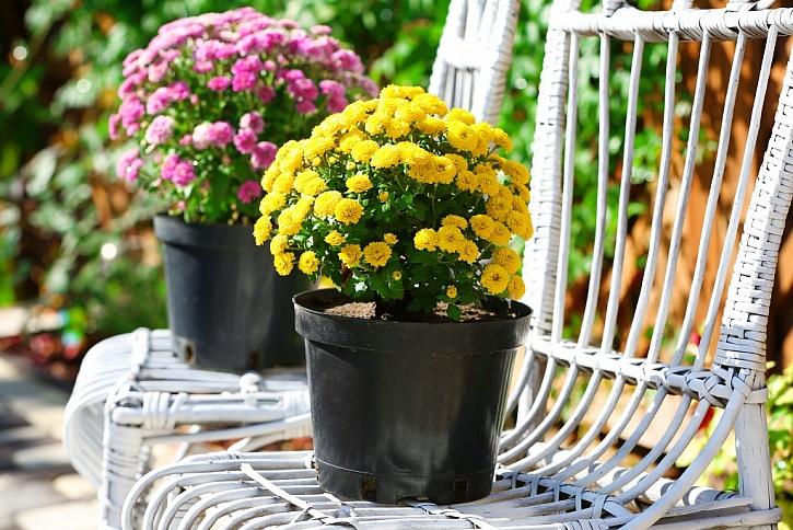 Drnovka je vhodná pro karafiáty, pelargonie a chryzantémy
