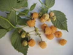 Maliny a ostružiny jsou hvězdami bobulovitého ovoce