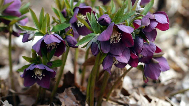 Čemeřice: Jak pěstovat květy, které rozkvetou ještě dřív, než přijde jaro