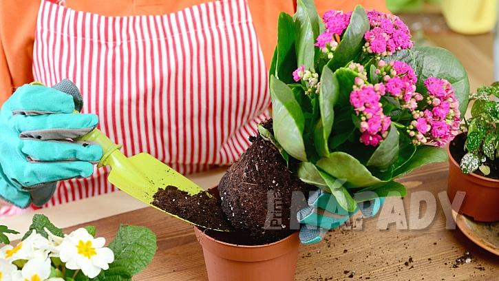 Pokojové rostliny potřebují na jaře přesadit: při výběru substrátu se řídíme typem květiny