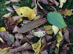 Hromady listí přivádějí každý podzim majitele zahrad k šílenství