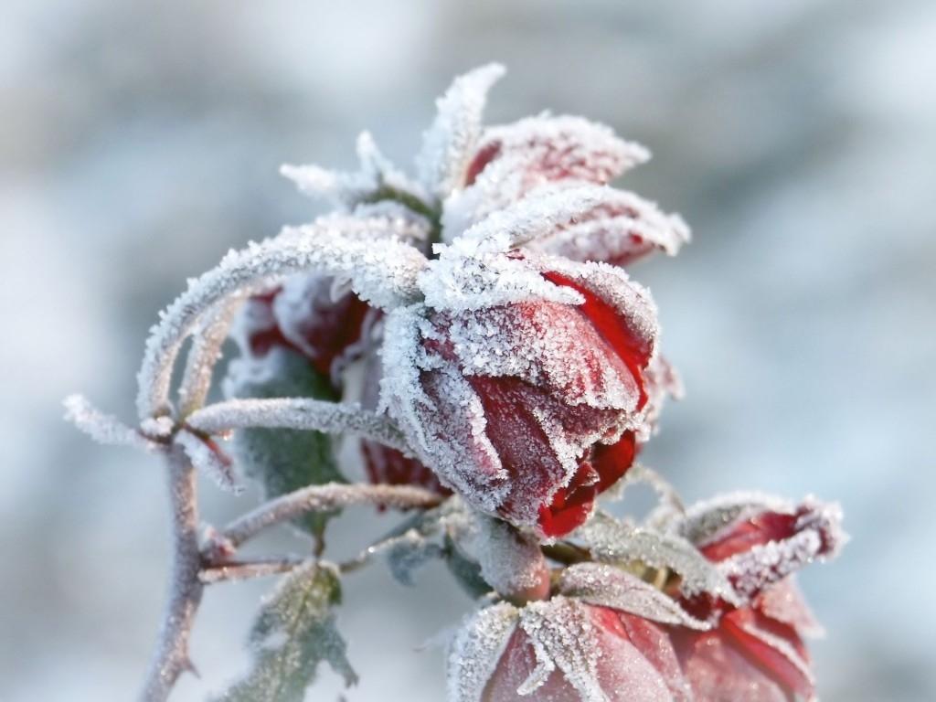 Trvalky a jejich ochrana před mrazem