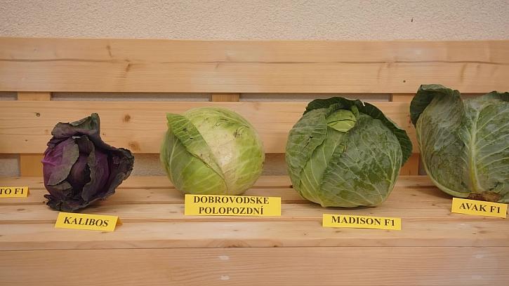 Jak vybrat a naložit zelí
