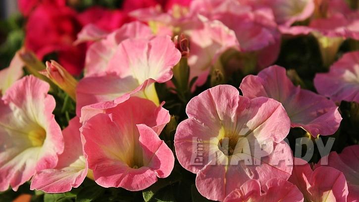 Rychlé rady do zahrady: leden je čas na výsev letniček, které mají dlouhou dobu vzcházení jako třeba petúnie (Petunia)