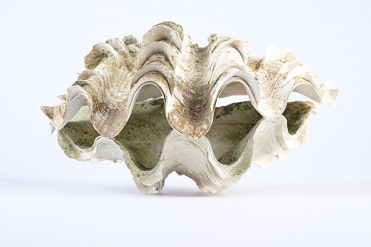 Zéva obrovská