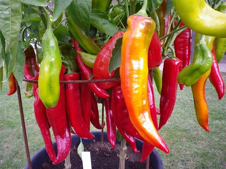 Paprika vyžaduje včasný výsev (Zdroj: Ludmila Dušková)