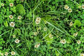 Pampelišky a jiné plevele v trávníku